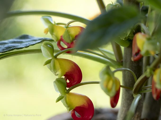 Das Kongo-Lieschen fällt durch dekorative, rot-gelbe Papageischnabelblüten auf und ist eine Verwandte des Fleißigen Lieschens. Es wird allerdings sehr viel größer und erobert die Herzen aller Urban-Jungle-Fans im Sturm.