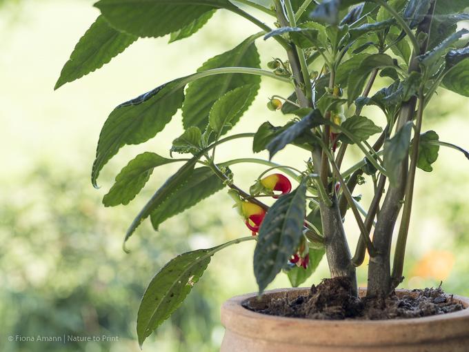Kongo-Lieschen, exotische Zimmerpflanze mit Papageischnabelblüten