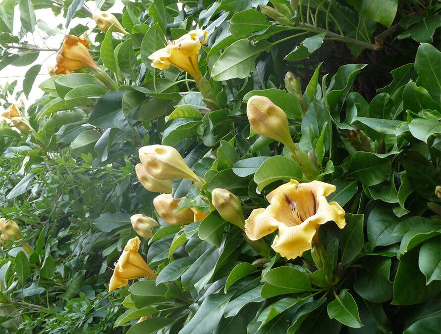 Goldkelch Solandra maxima, gigantische Blüten mit Duft